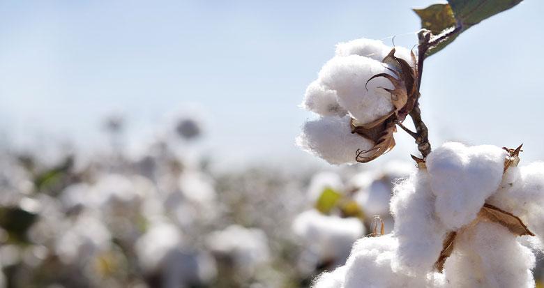 Refined-Cotton